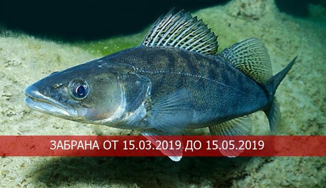 УВЕДОМЛЕНИЕ относно забрана за улов на бяла риба /Sander lucioperca/ през периода на размножаване съгласно Приложение № 1 на Закона за рибарството и аквакултурите.